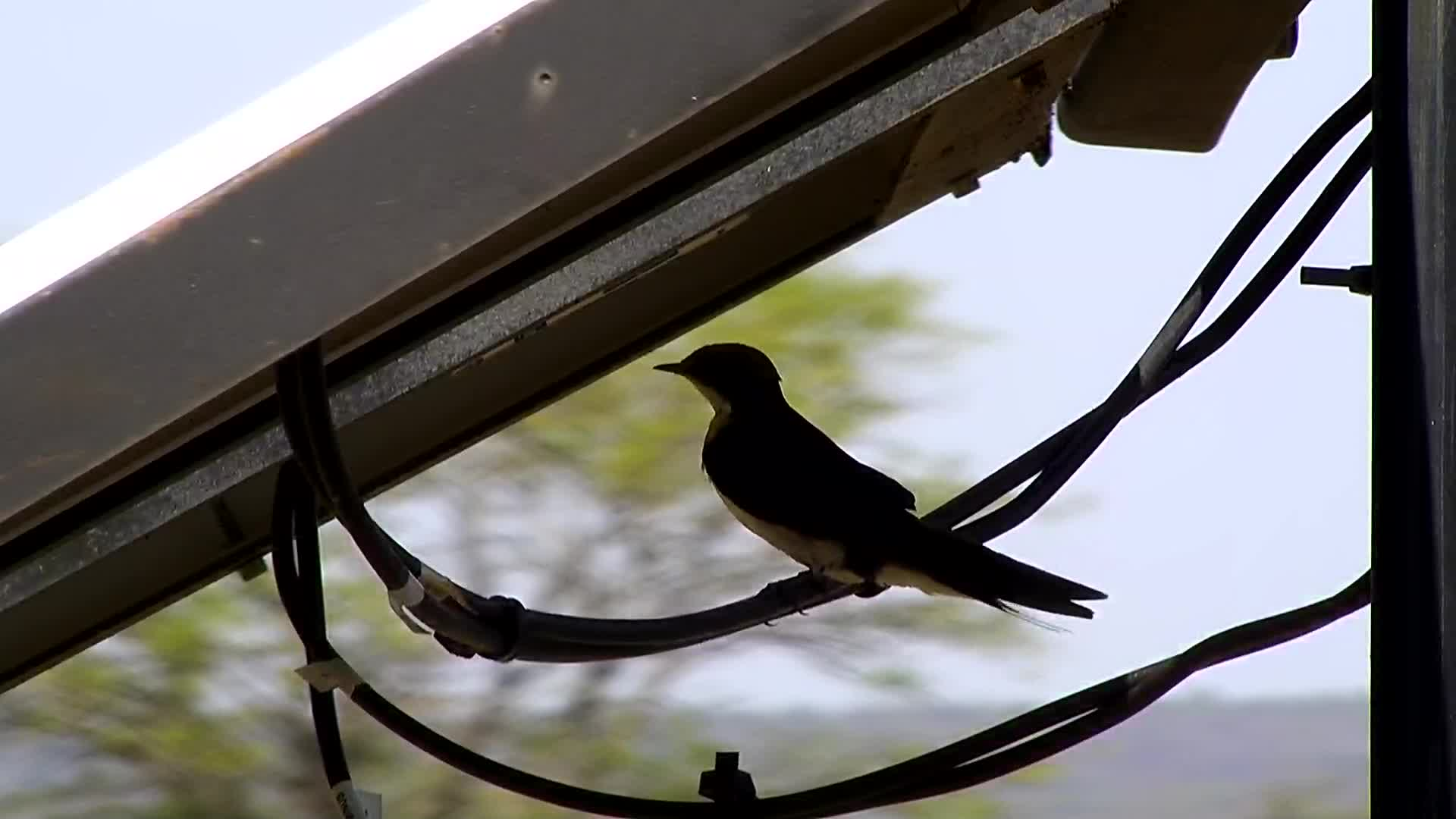 VIDEO: A Nervous Wire-tailed Swallow looking  around.
