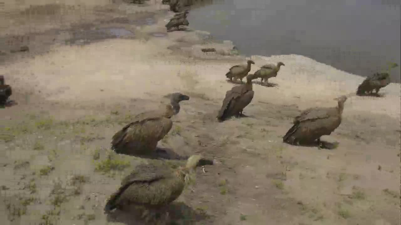 VIDEO: Vultures  around  the   waterhole