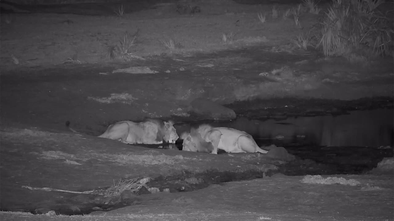 VIDEO:  2 Big male Lions having a drink