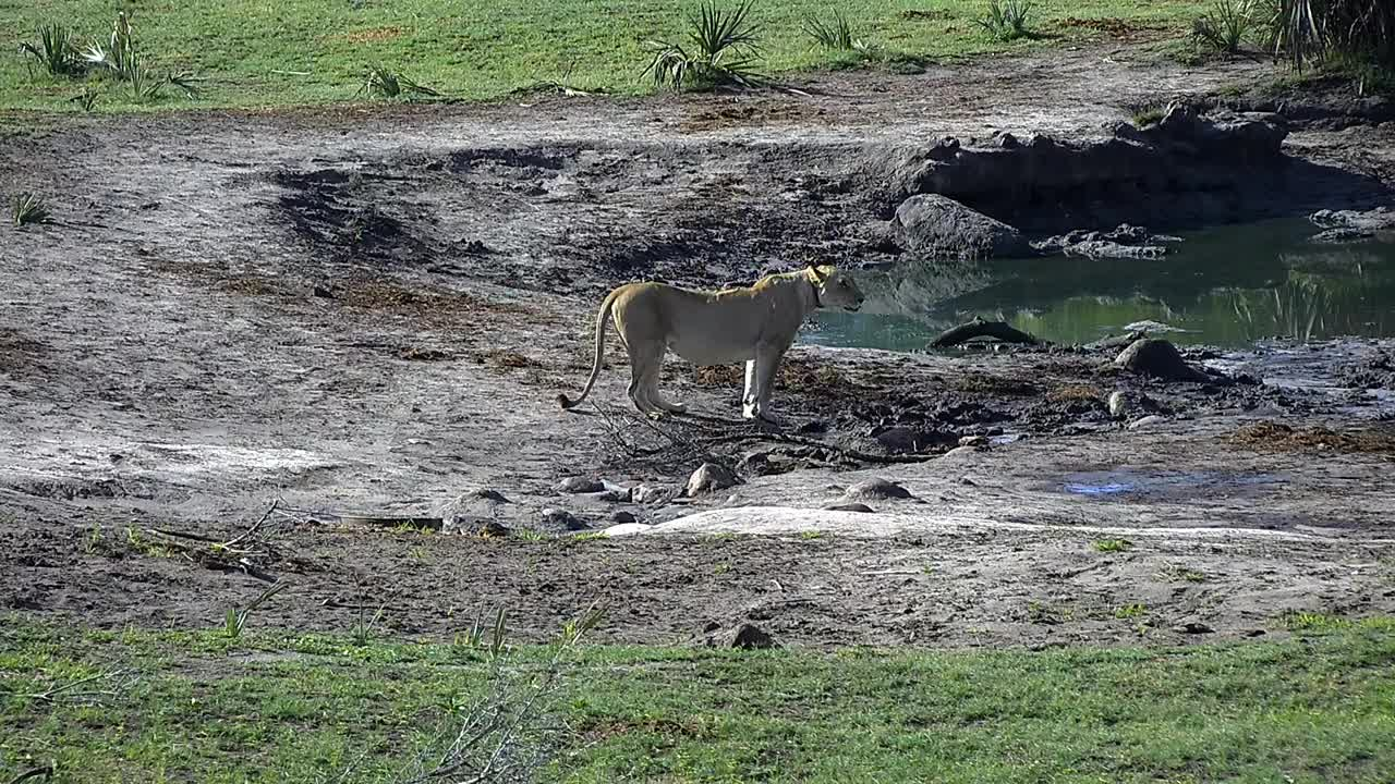VIDEO: Lions at the waterhole