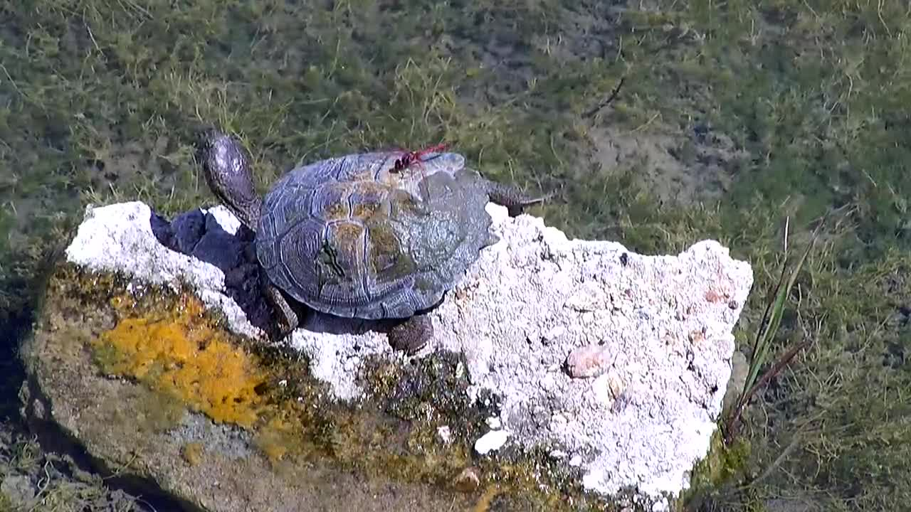 VIDEO: Red Dragon Fly  sitting on  the Terrapin