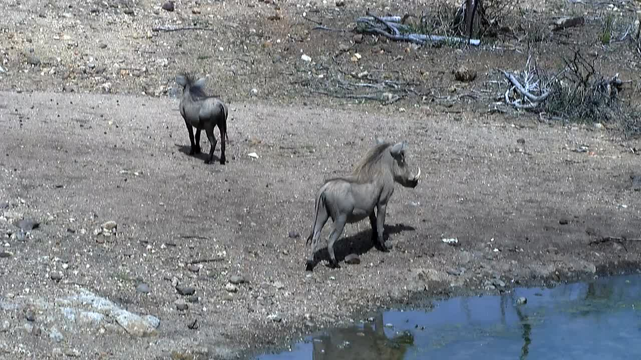 VIDEO: Warthogs  at  the  waterhole