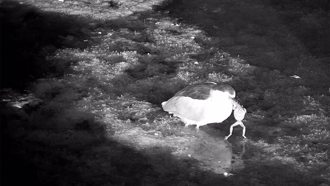 VIDEO: Black-crowned Night Heron catches a frog - and after 6 minutes it's all over