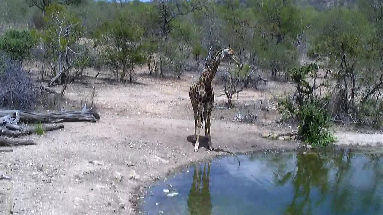VIDEO:   Giraffe  at  the  waterhole