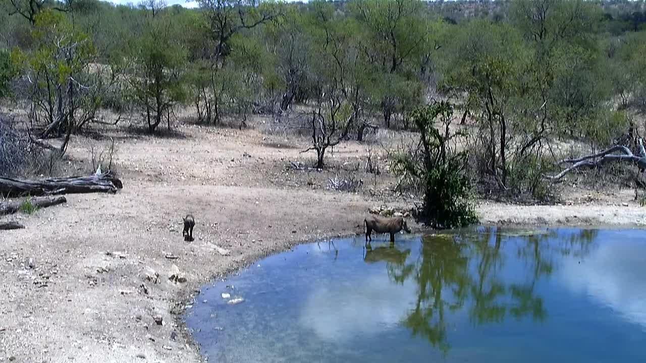 VIDEO:  Warthogs enjoying the water
