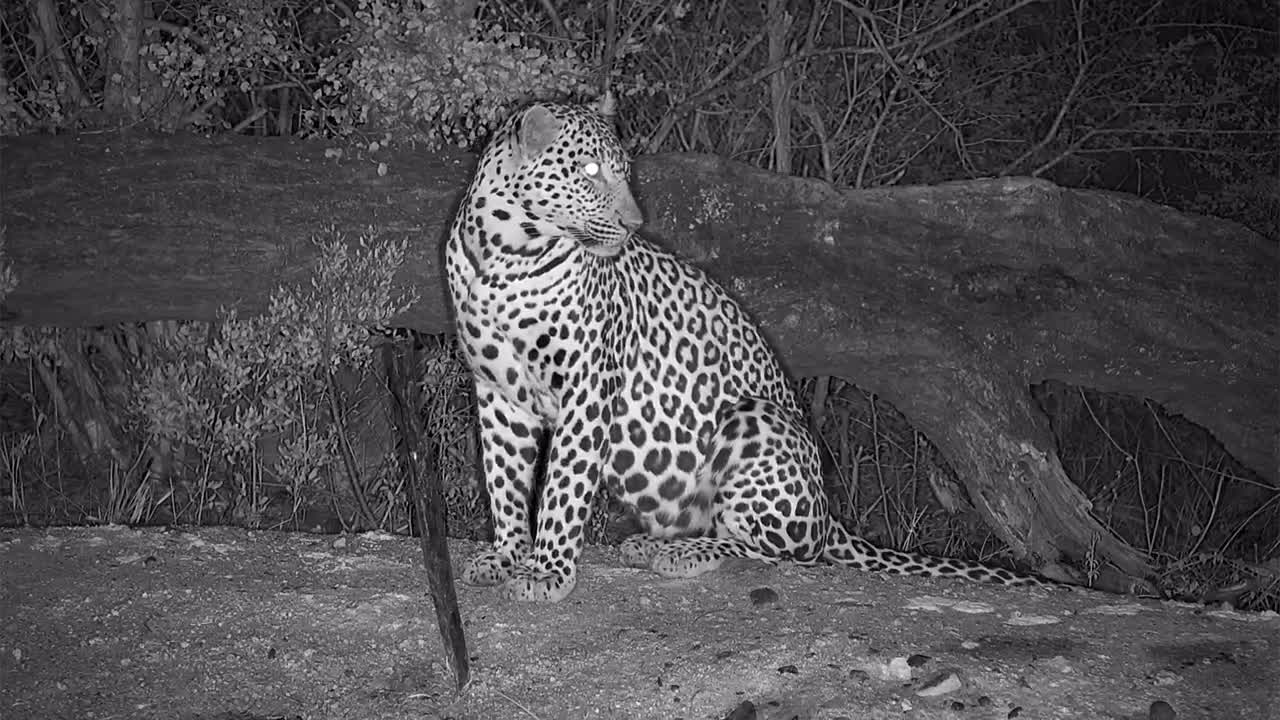 VIDEO: Leopard at the waterhole to look around