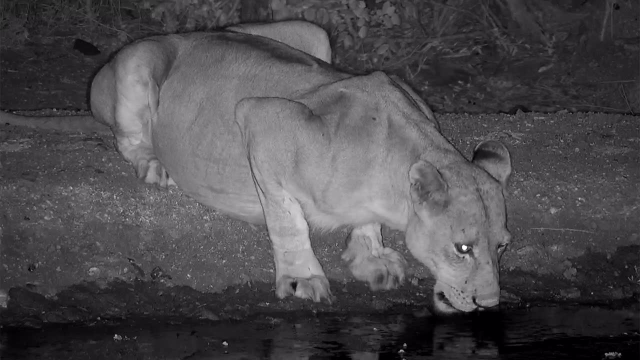 VIDEO:  Lioness with a full belly having a drink