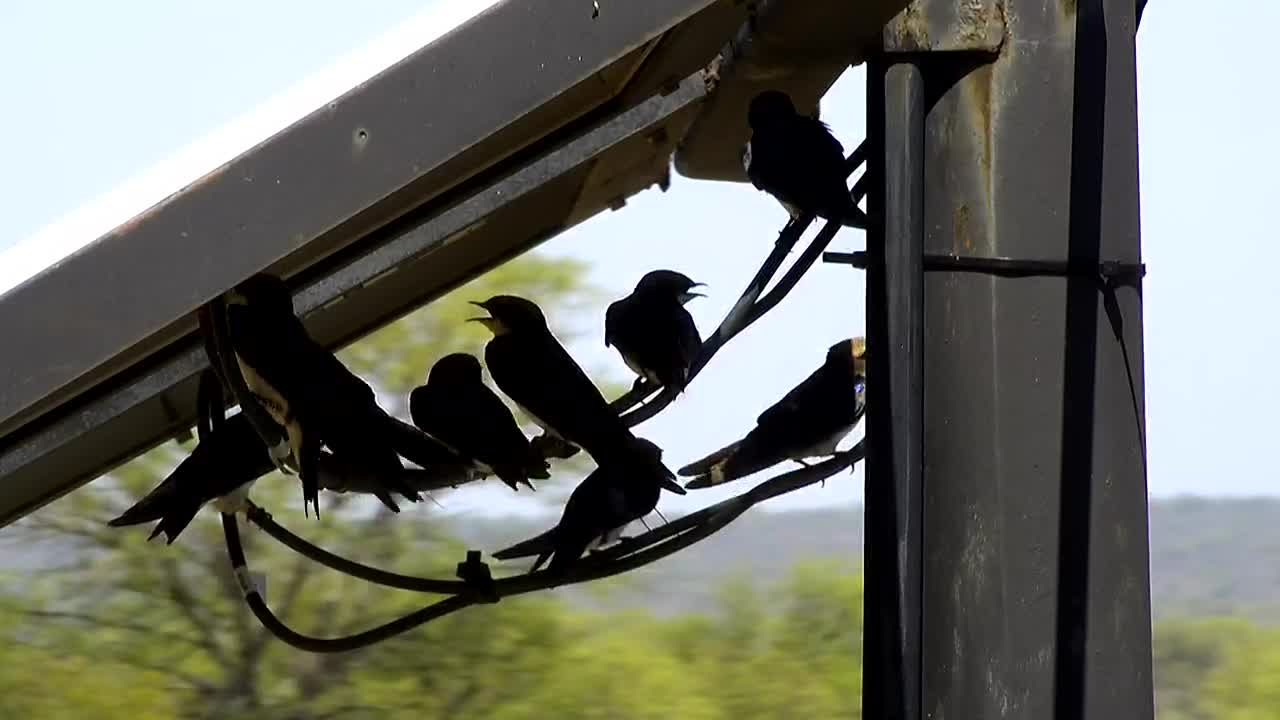 Video: Wire-tailed Swallows sitting on their favorite place.