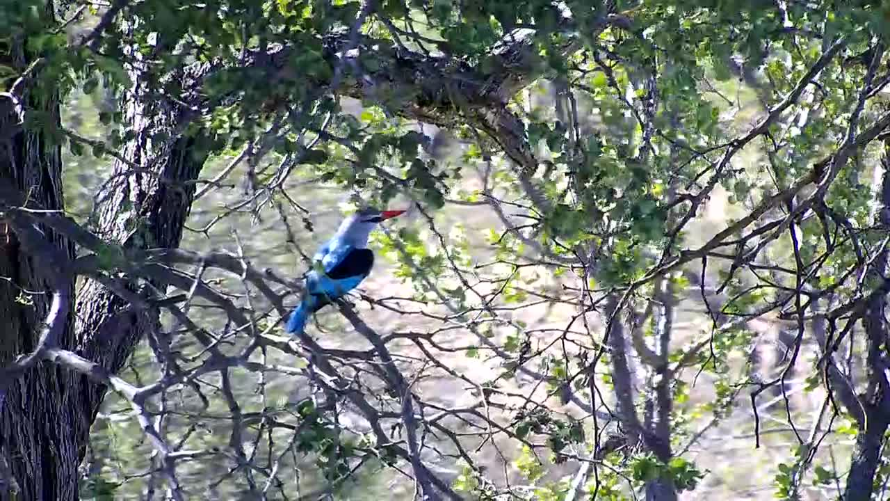 VIDEO: Woodland Kingfisher looking  around.