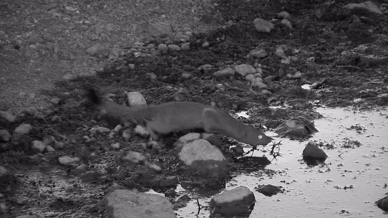 VIDEO:  Mongoose having a drink