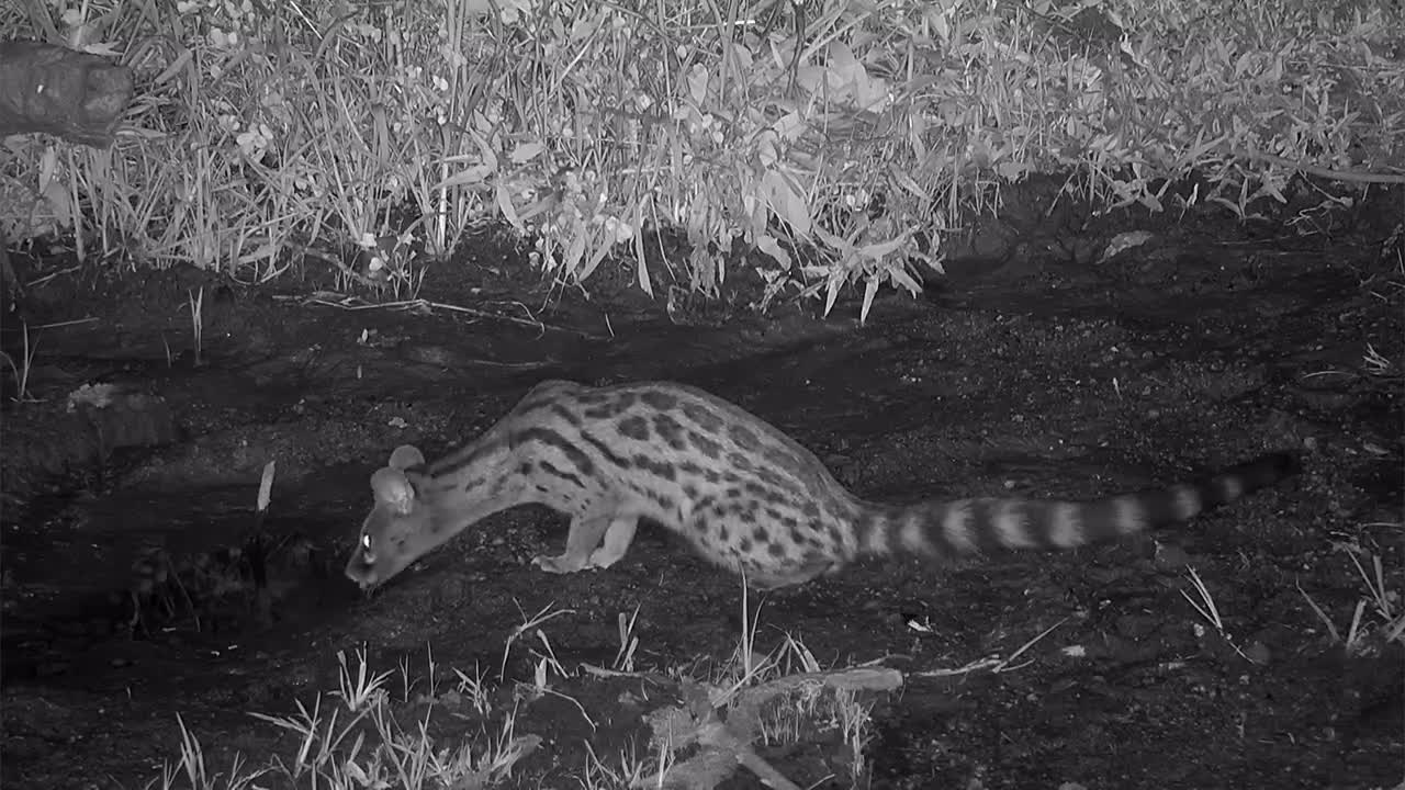 Video: Genet drinking water out of the overflow puddle