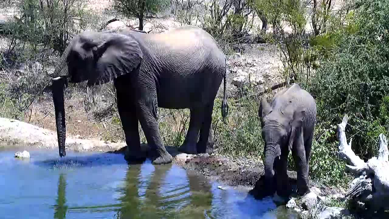 VIDEO: Elephants  drinking  and  feeding.