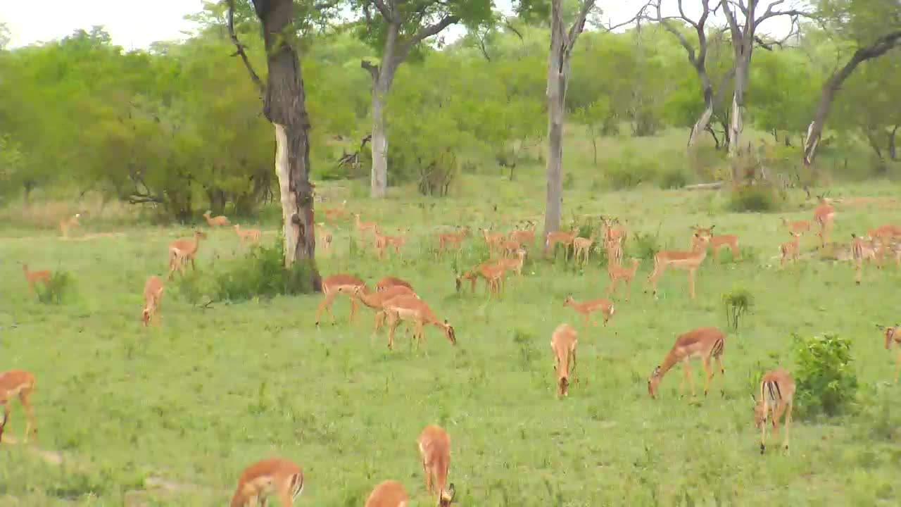 VIDEO: Impalas with jumping  young ones. full of energy, spring is in the air.