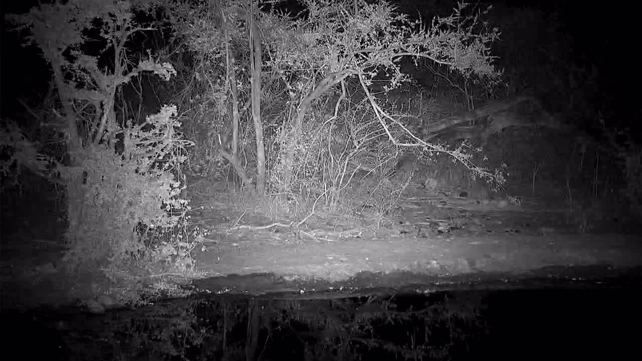 VIDEO: A Civet came for a drink then went into the dark