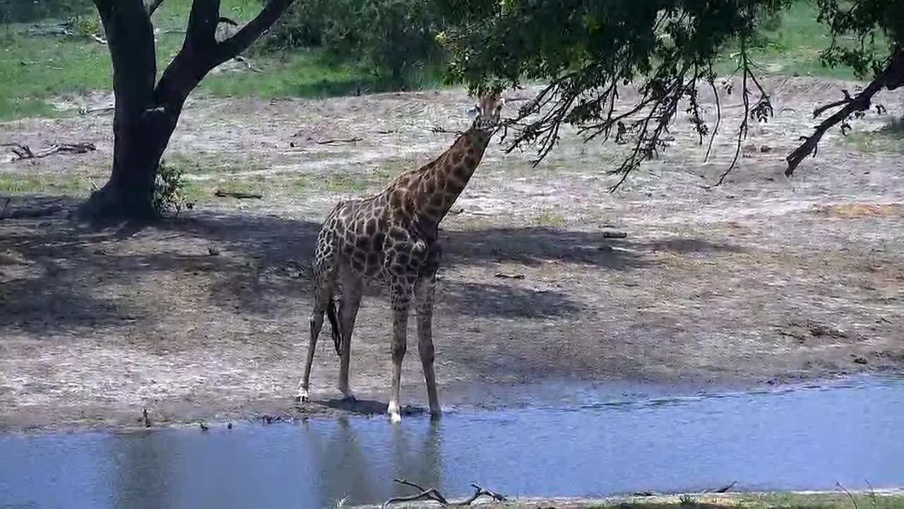VIDEO: Giraffe came for a short drink to the waterhole