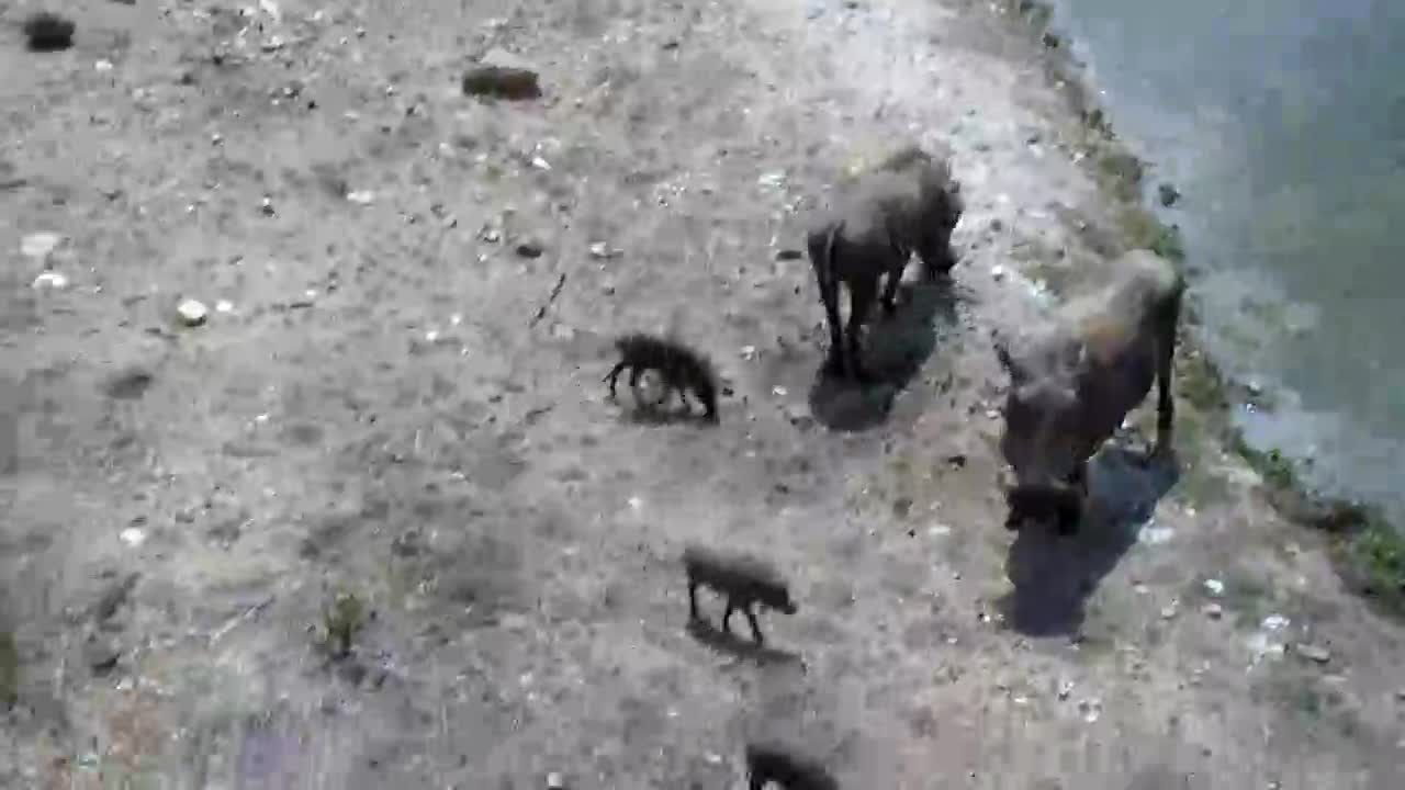 VIDEO: Warthogs with seven tiny  piglets.