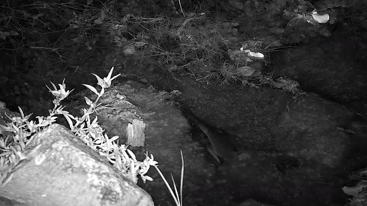 VIDEO: The noise makers at night : FROGS.