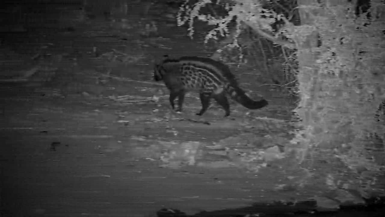 VIDEO:  Civet having its evening drink and off to hunt