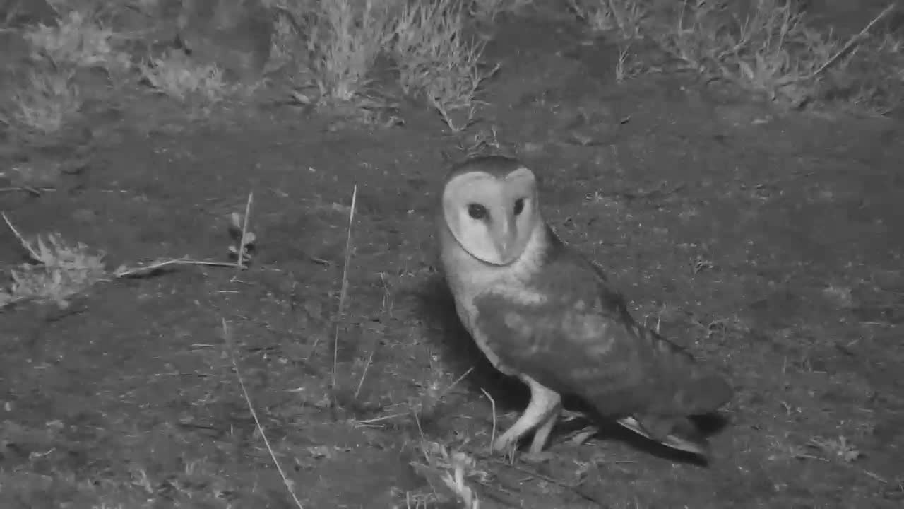 VIDEO:  Barn Owl looking around