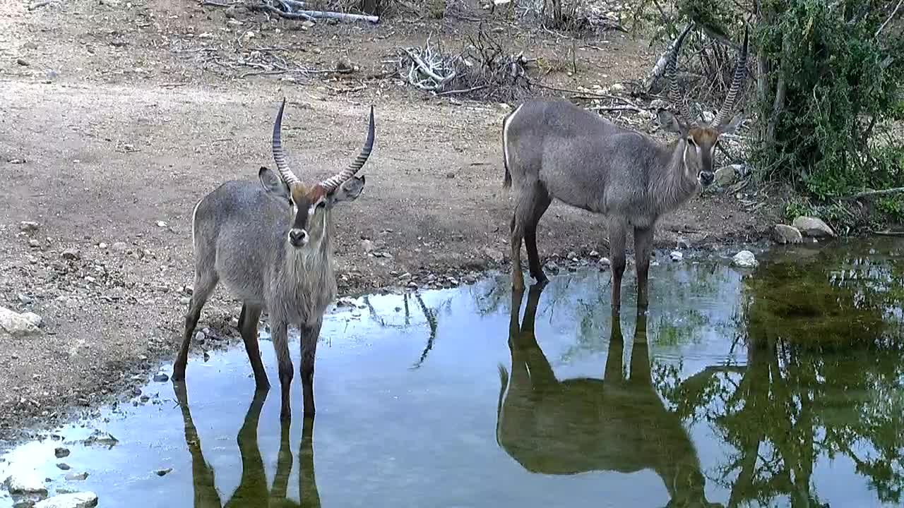 VIDEO: Waterbucks  come for  a  drink
