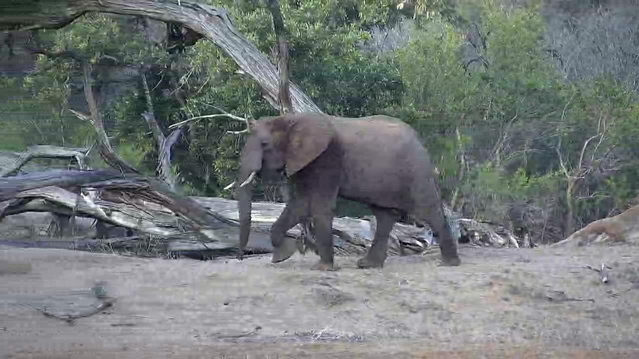 VIDEO:  Elephants grazing along the riverbank