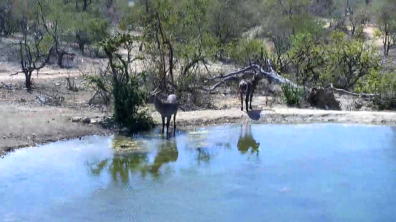 Video: Waterbucks came for a drink