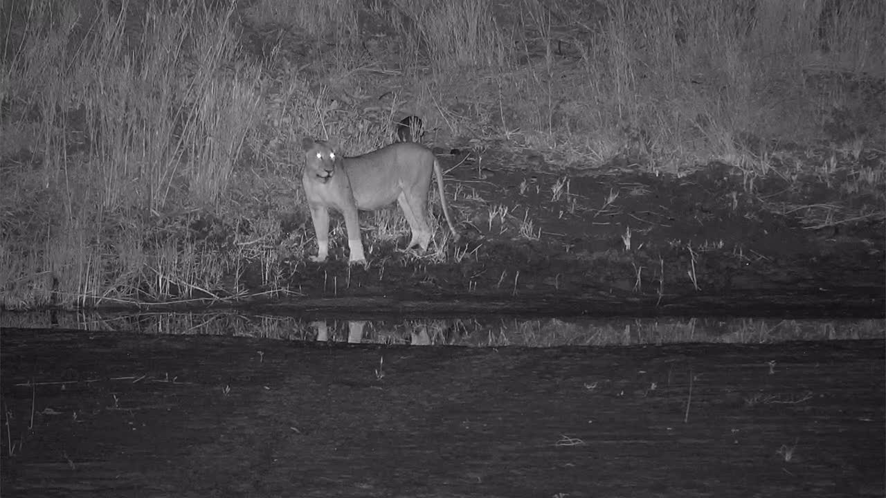 VIDEO: Lioness on the prowl along the river bank