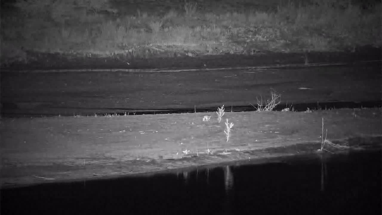 VIDEO:  Thick-tailed Bushbaby on the hunt on the sandbar