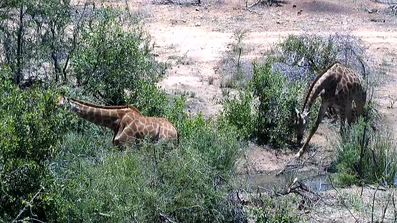 VIDEO: Giraffes  drinking and feeding