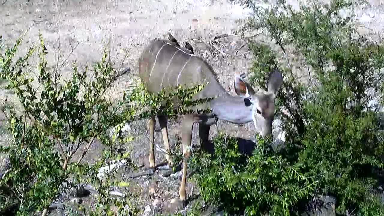 VIDEO: Kudu and Warthogs