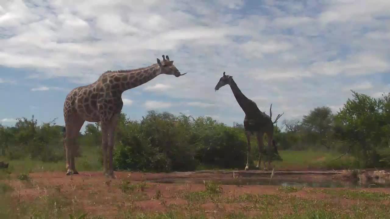 VIDEO: Giraffe