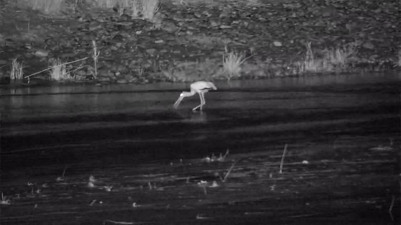 VIDEO:Yellow-billed Stork and Grey Heron searching for food