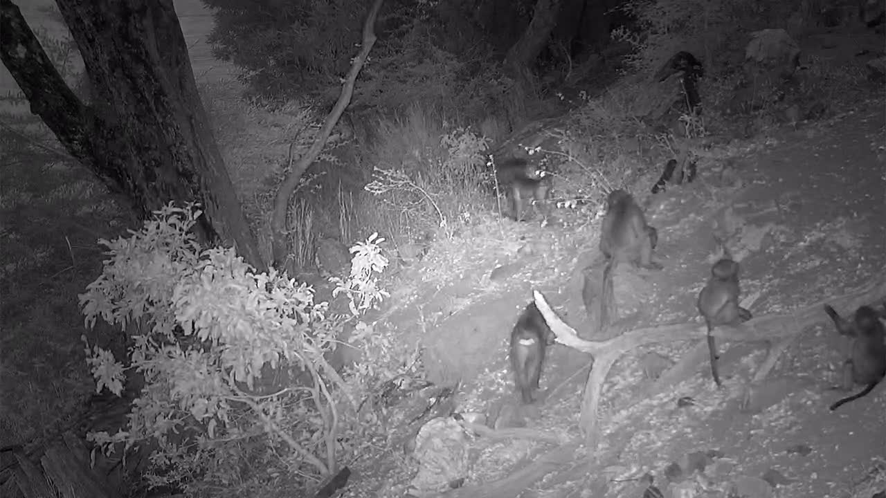 VIDEO: Baboons climb the tree to find a resting place for the night