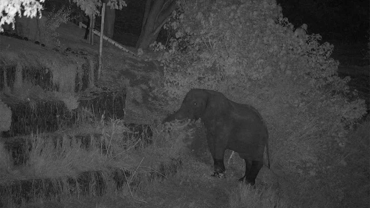 VIDEO: Elephant with crippled foot eats on the riverbank branches, grass and reed