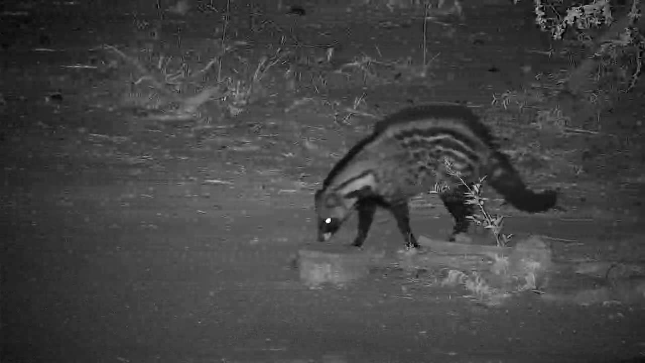VIDEO:  Civet leaving