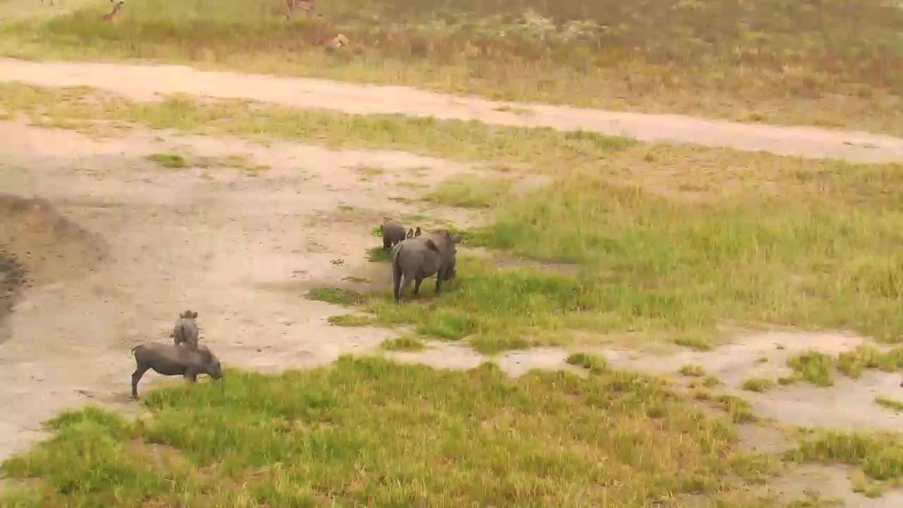 VIDEO: Warthog family playing around the waterhole