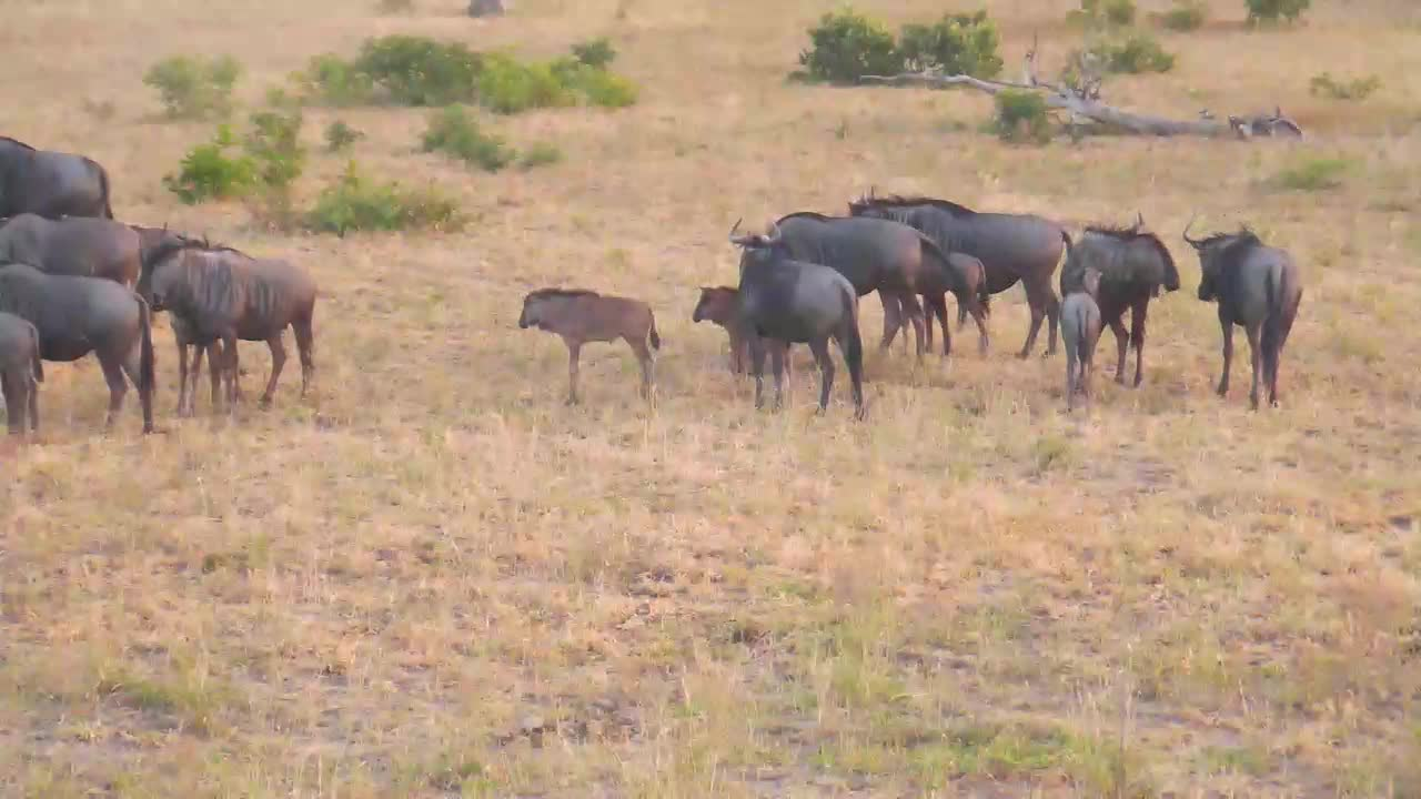 VIDEO: Wildebeest Herd - grazing, playing and wallowing