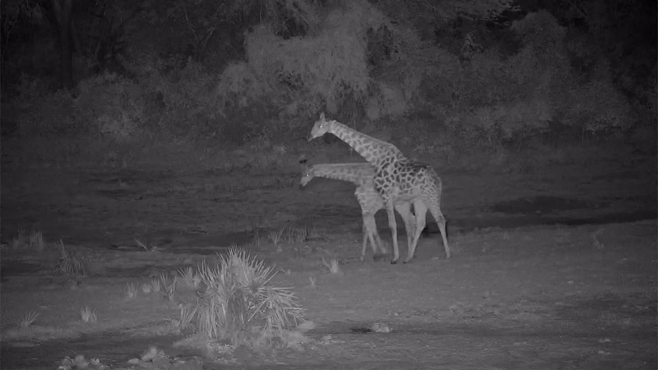 VIDEO: Giraffe Bulls necking and are chased away by an Elephant