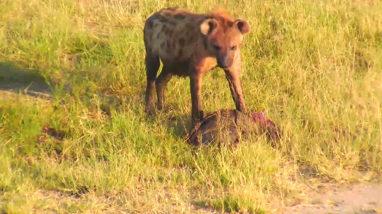 VIDEO: Several Hyeanas at the waterhole