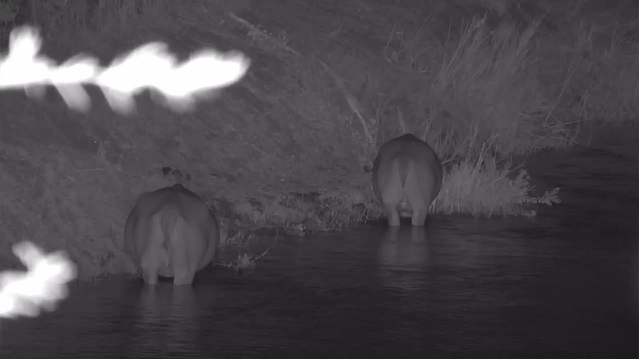 VIDEO: Hippos are grazing upstream
