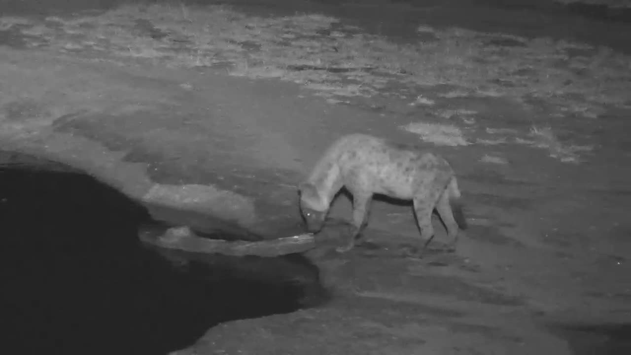 VIDEO: Hyaena came to drink and pulled the tree trunk out of the water and disappeared into the dark