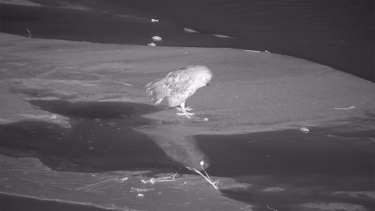 VIDEO: Pel's Fishing Owl hunting