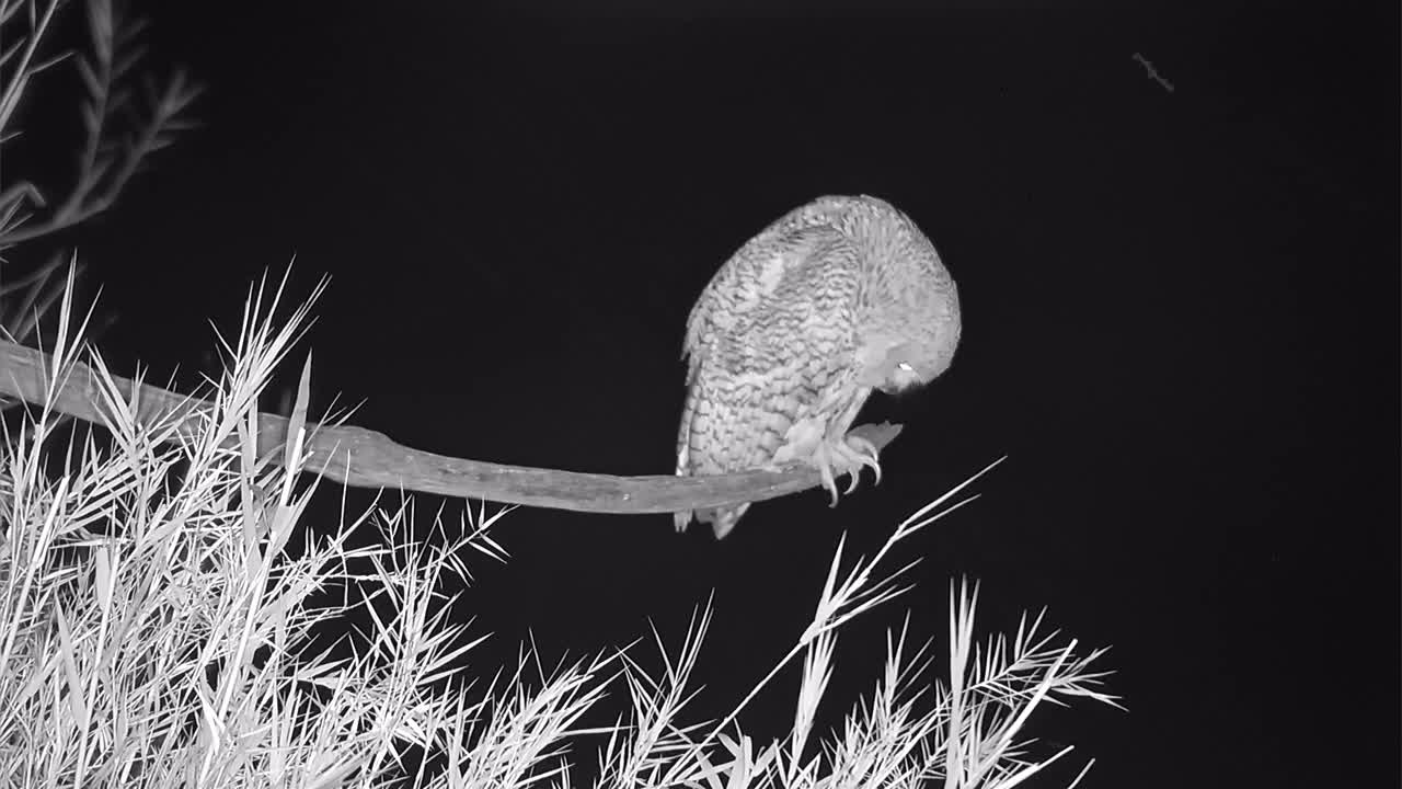 VIDEO: Pel's Fishing Owl observes the environment - notice this huge claw