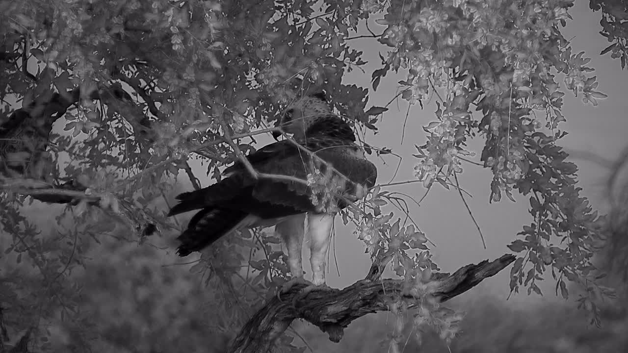 VIDEO: Juvenile Martial Eagle sitting  in the tree and looking  around