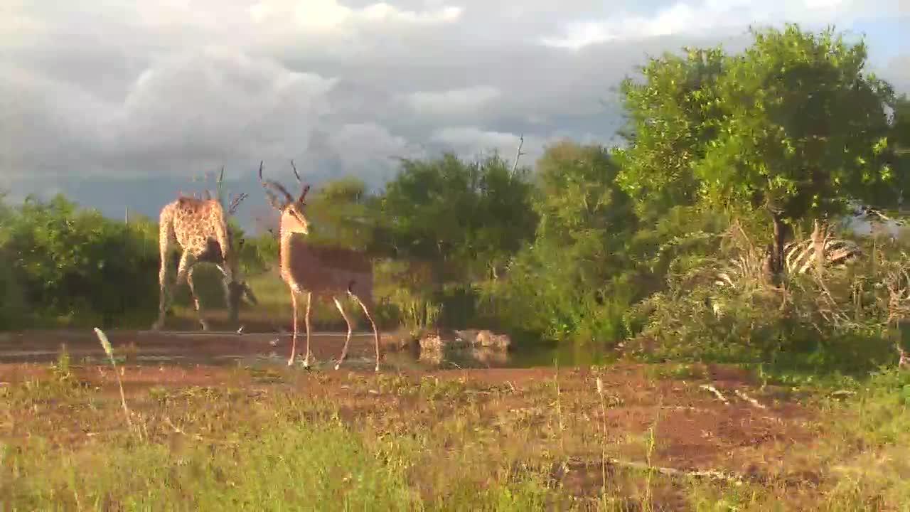 VIDEO: Giraffes, Impala, Zebras