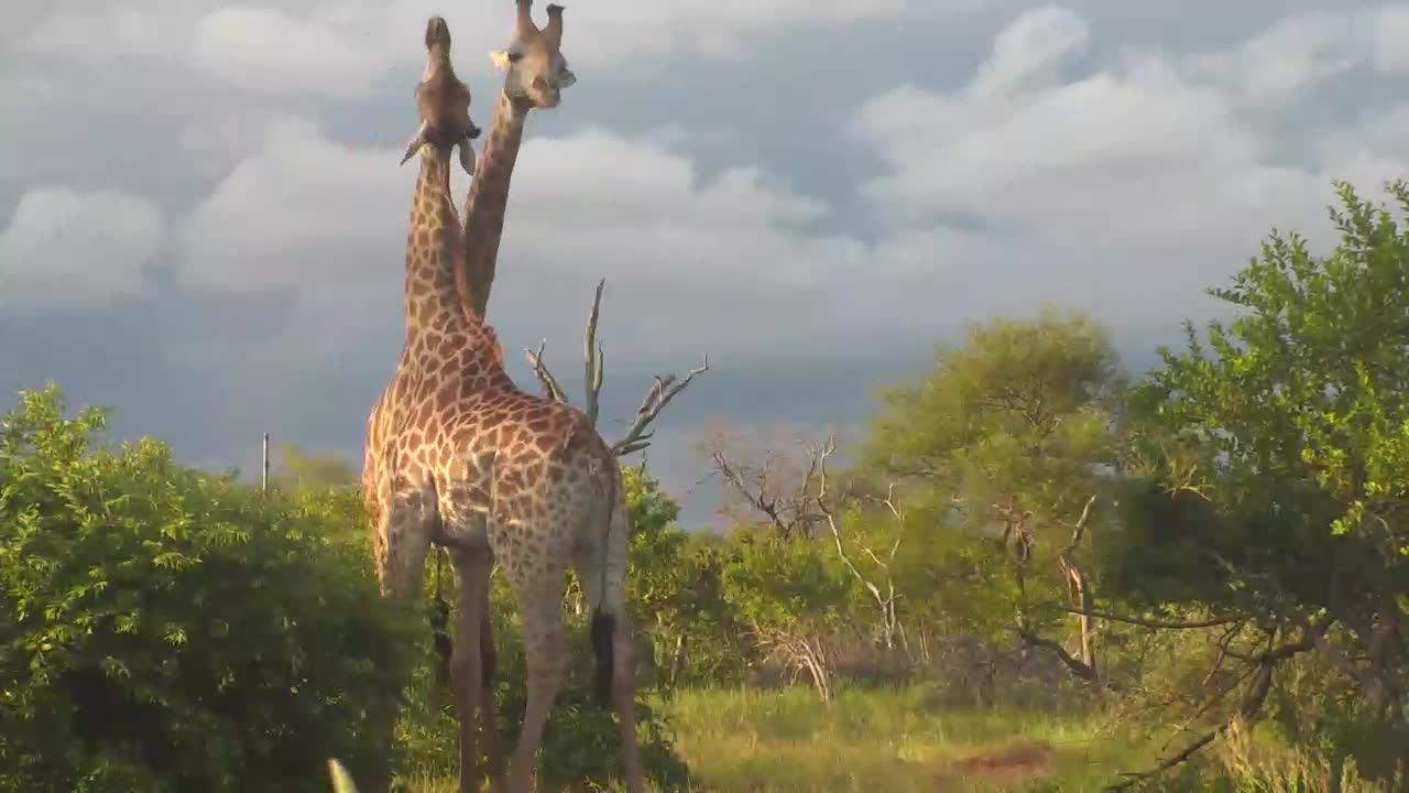 VIDEO: Giraffe Bulls necking