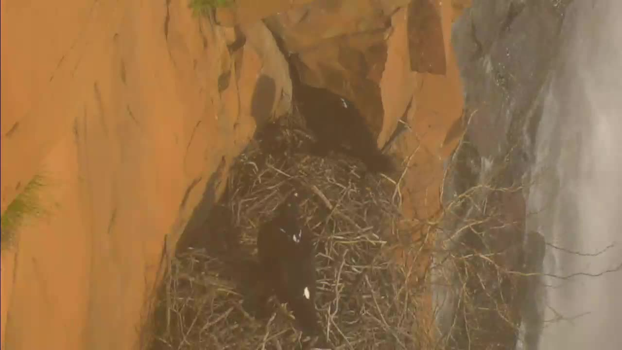 VIDEO: Pair of Black Eagles at the old nest