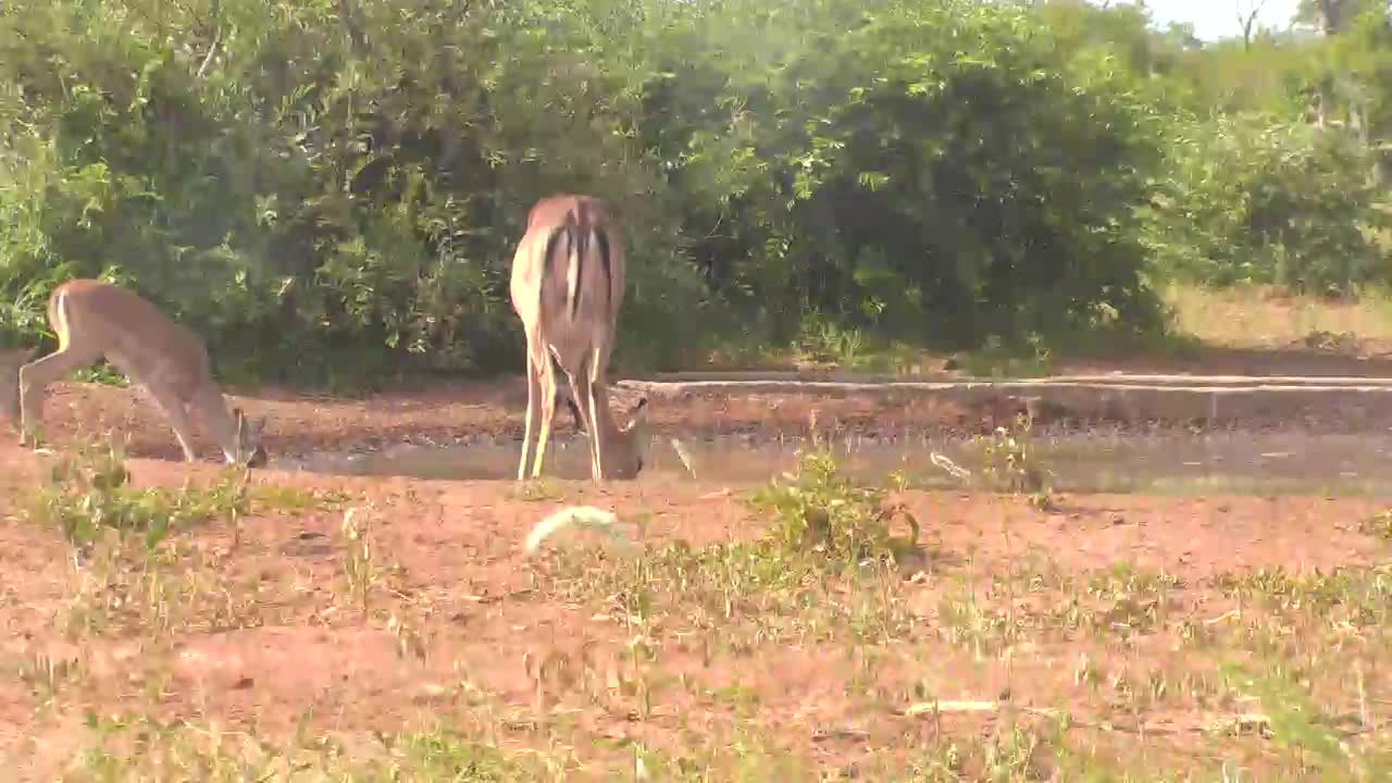 VIDEO: Impala with Babies