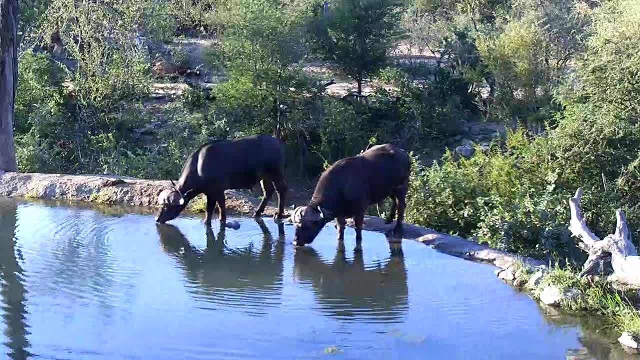 VIDEO:Buffalos coming to the  waterhole for a drink.