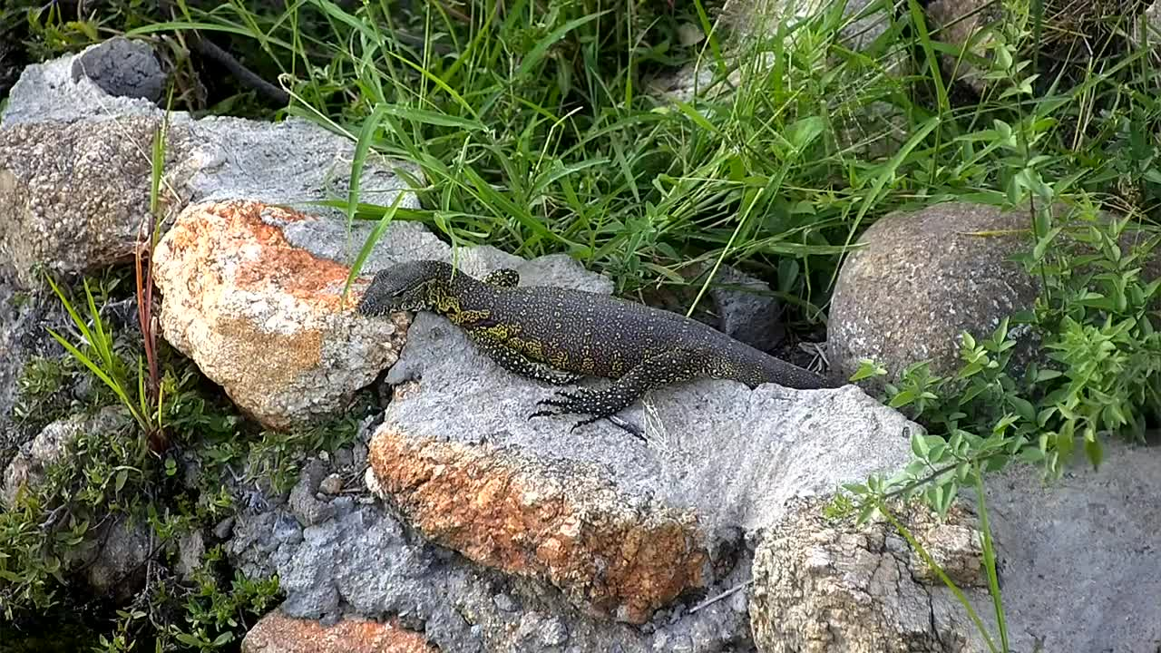 VIDEO: Watermonitor looked for food and then disappeared in the water.
